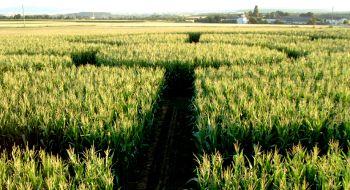 Irren im Mais - Maislabyrinth 2021