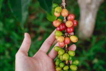 Mehr über Kaffee lernen mit virtuellen Kaffeeplantagen-Touren